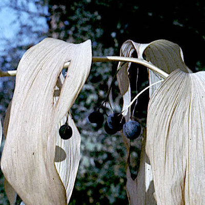 Polygonatum multiflorum : plante en fruits